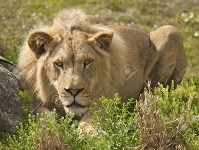 10837540-lion-hiding-and-stalking-prey-stock-photo