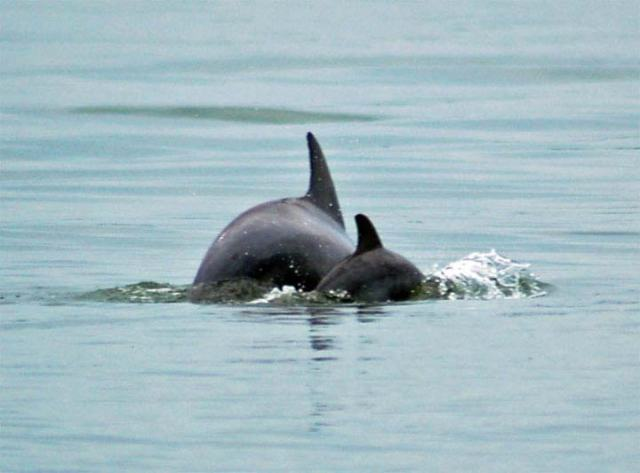 dolphin-tours-hilton-head