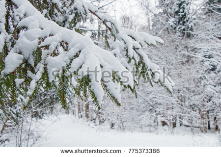 stock-photo-branches-of-spruce-trees-with-a-large-layer-of-snow-after-a-heavy-snowfall-in-the-winter-cold-775373386